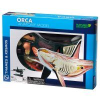 orca anatomy model kit